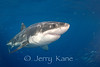 Great White Shark (Carcharodon carcharius) - Guadalupe Island, Baja California, Mexico