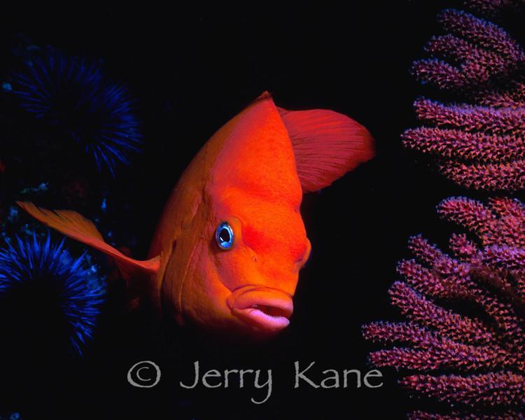 Garibaldi (Hypsypops rubicundus) - San Diego, California