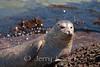 Harbor Seal (Phoca vitulina) - La Jolla, California