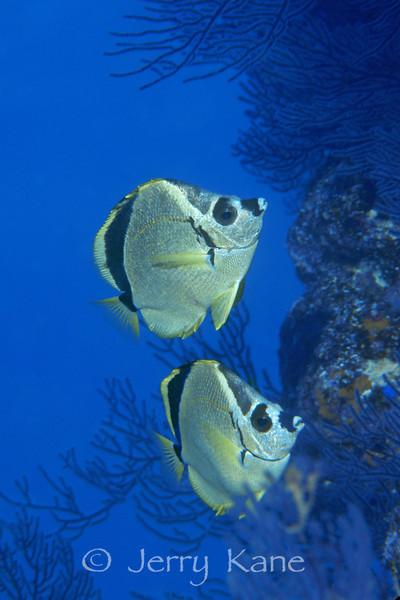 Barber Butterflyfish (Johnrandallia nigrirostris) - Punta Pescadero, Sea of Cortez, Mexico