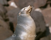 California Sea Lion (Zalophus californianus) - Guadalupe Island, Baja California, Mexico