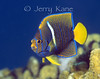 King Angelfish, juv. (Holacanthus passer) - Punta Pescadero, Sea of Cortez, Mexico