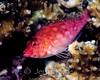 Coral Hawkfish (Cirrhitichthys oxycephalus) - Punta Pescadero, Sea of Cortez, Mexico