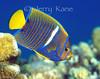 King Angelfish, juv. (Holacanthus passer) - Punta Pescadero, Sea of Cortez, Mexico