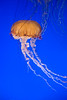 Sea Nettle (Chrysaora fuscescens) - Monterrey Bay Aquarium