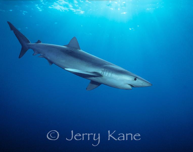 Blue Shark (Prionace glauca) - several miles off San Diego, California
