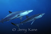 Blue Sharks (Prionace glauca) - several miles off San Diego, California