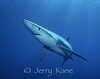 Blue Shark (Prionace glauca) - several miles off San Diego, California