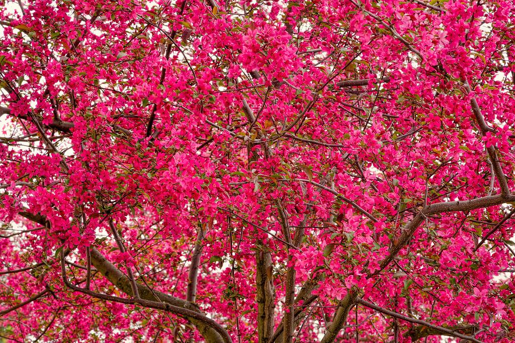 Chery Tree, Dansville, New York
