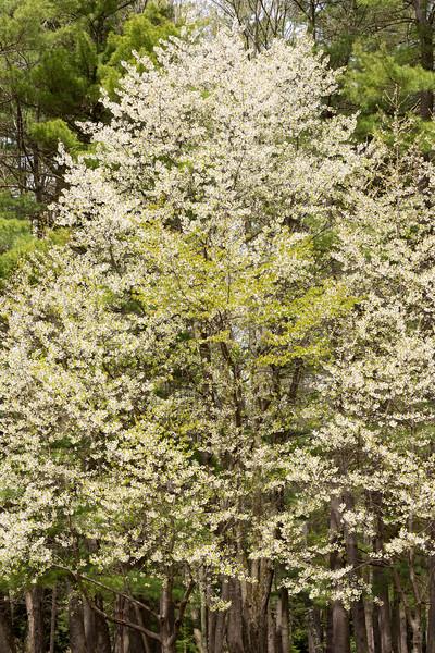 Wild Chery Tree, Stoneybrook state Park, N.Y.