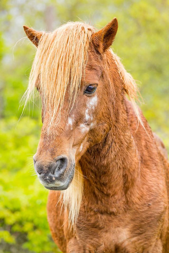 Assateague Pony, Assateague National Seashore, Maryland