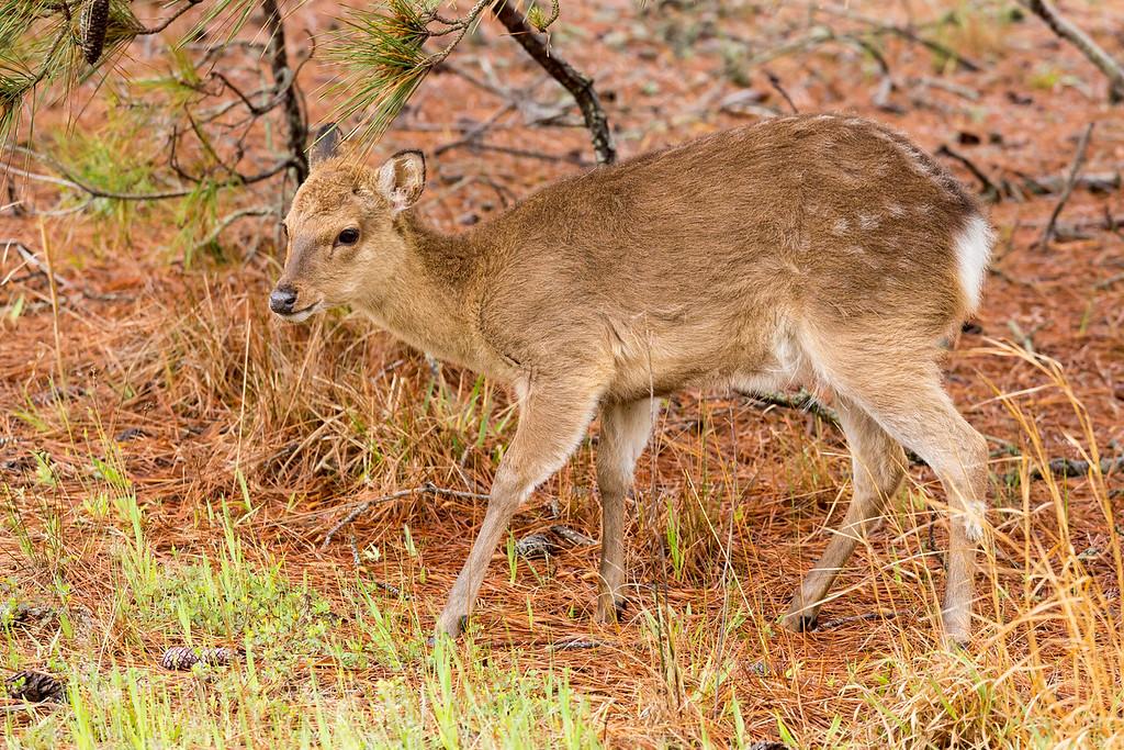 Sitka Deer, Assateague National Seashore, Maryland