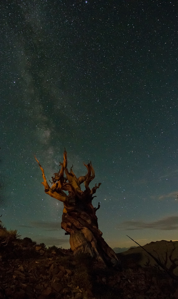 Bristlecone pine, world's oldest known individual species.  Some are 5,000 years old.
