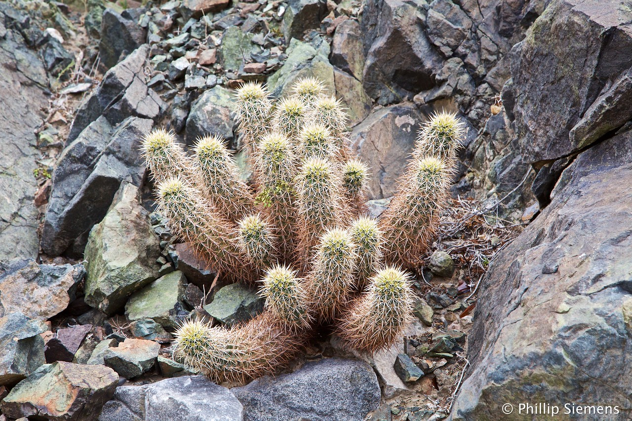 Cactus in Darwin Canyon