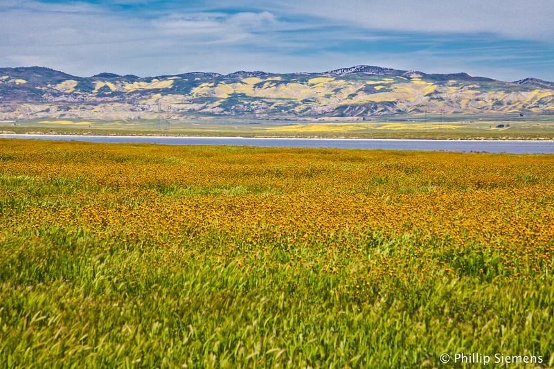 Fiddlenecks and Soda Lake, Carrizo Plain