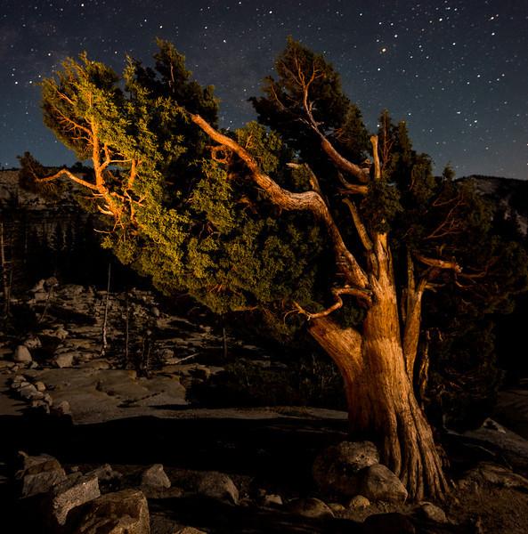 Yosemite weathered tree