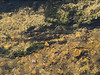 Brown trout during fall spawning run in the eastern Sierra.<br /> #66<br /> Nov. 7, 2006