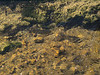Brown trout during fall spawning run in the eastern Sierra.<br /> #65<br /> Nov. 7, 2006