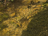 Brown trout during fall spawning run in the eastern Sierra.<br /> #61<br /> Nov. 7, 2006