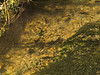 Brown trout during fall spawning run in the eastern Sierra.<br /> #60<br /> Nov. 7, 2006