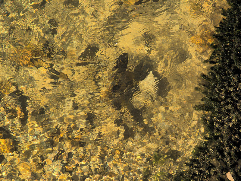 Brown trout during fall spawning run in the eastern Sierra.<br /> #71<br /> Nov. 7, 2006