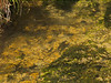 Brown trout during fall spawning run in the eastern Sierra.<br /> #58<br /> Nov. 7, 2006