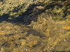 Brown trout during fall spawning run in the eastern Sierra.<br /> #69<br /> Nov. 7, 2006