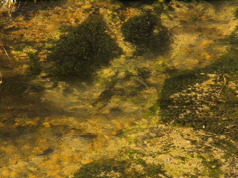 Brown trout during fall spawning run in the eastern Sierra.<br /> #56<br /> Nov. 7, 2006
