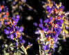 Indigo Bush<br /> Psorothamnus arborescens