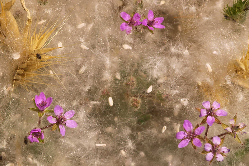 Storksbill Blossoms and Seed Pods in wind drifted Cottonwood seeds.<br /> Eroium cicutarium<br /> Populus fremontii