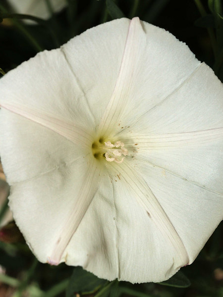 Piute Morning Glory Blossom<br /> Calystegia longipes