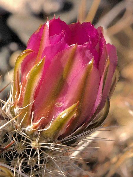 Hedgehog Cactus Blossom<br /> Echinocereus engelmannii
