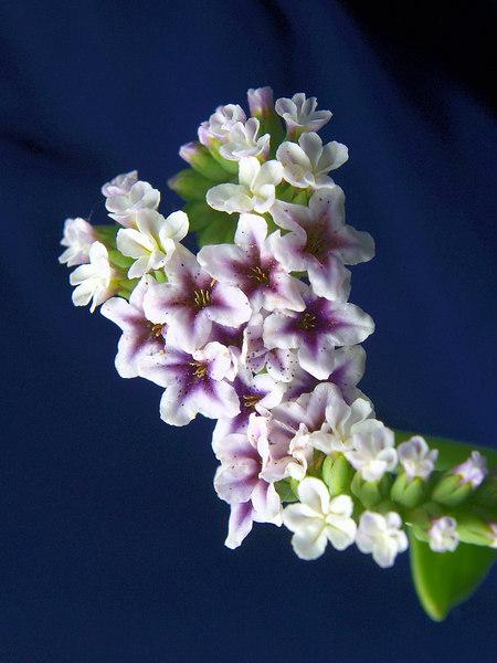 Alkali Heliotrope<br /> Heliotropium curassavicum