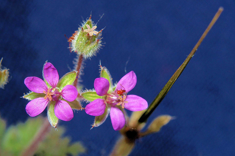 Storksbill Blossoms and Seed Pods<br /> Eroium cicutarium