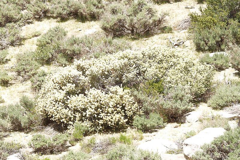 Whitethorn<br /> Ceanothus cordulatus