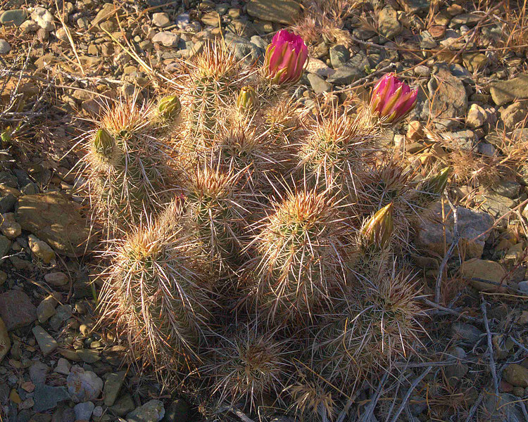 Hedgehog Cactus Blossom and Buds<br /> Echinocereus engelmannii