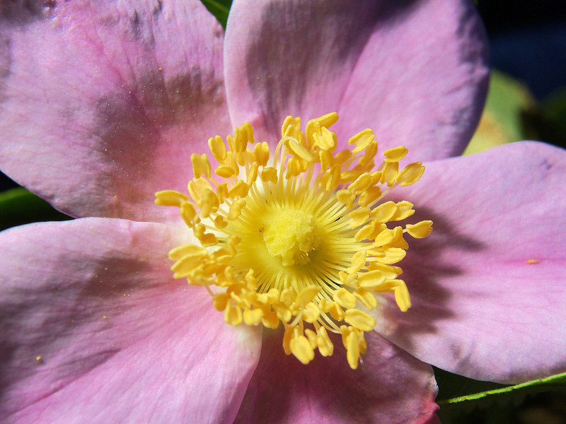 Wild Rose Blossom<br /> Rosa woodsii