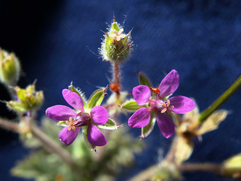 Storksbill Seed Buds and Blossoms<br /> Eroium cicutarium