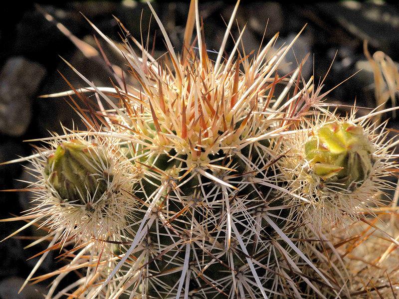 Hedgehog Cactus Buds<br /> Echinocereus engelmannii