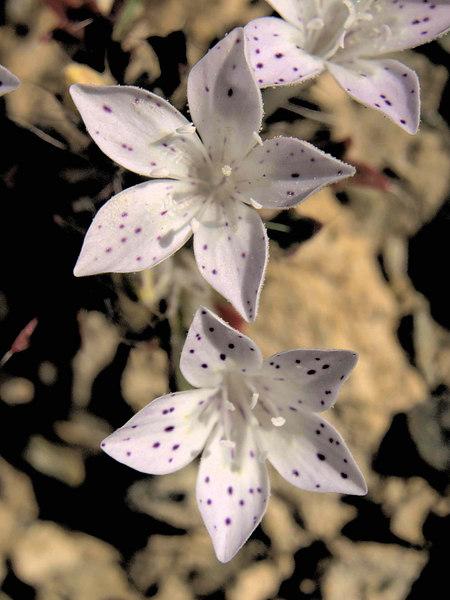 Great Basin Langloisia<br /> Langloisia setosissima