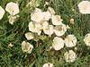 Piute Morning Glory Blossom<br /> Calystegia longipes