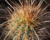 Hedgehog Cactus<br /> Echinocereus engelmannii
