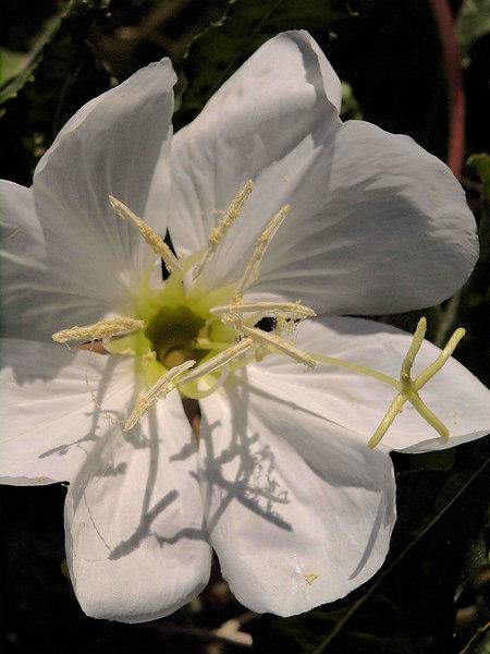 Desert Evening-Primrose Blossom<br /> Oenothera caespitosa