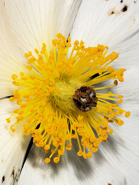 Prickly Poppy Blossom <i>Argemone munita</i>