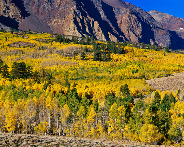 """Carpet of Aspens"""
