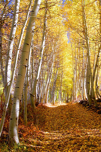 Aspen Pathway Bishop Creek Canyon California