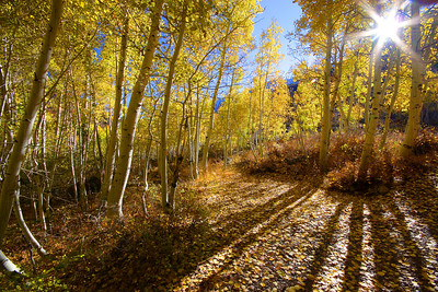 Aspen Shadows Bishop Creek Canyon California