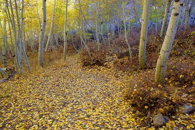 Aspens, Afternoon Bishop Creek Canyon California