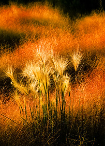 Mono Lake Grasses
