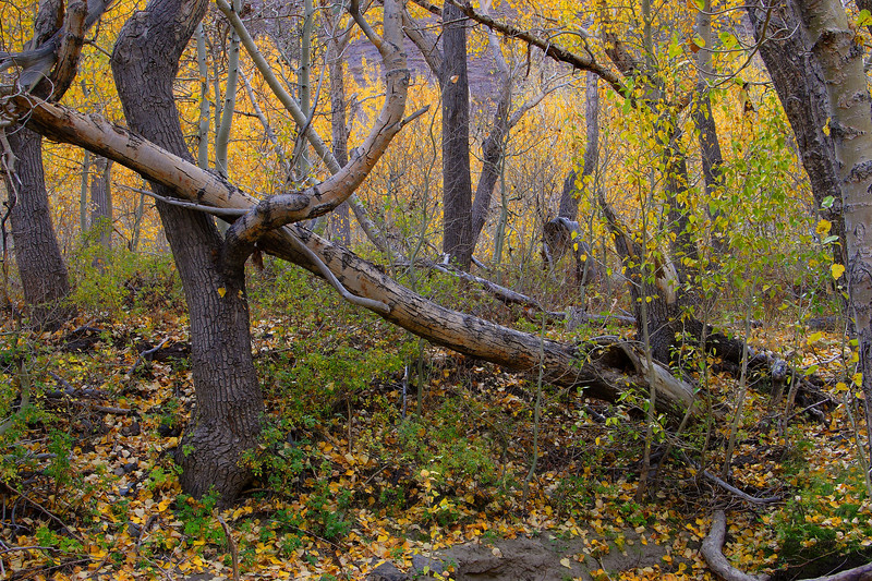 Fallen Trees McGee Creek Canyon California